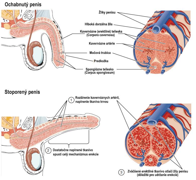 Rozdiel medzi stoporeným a ochabnutým penisom