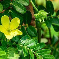 Kotvičník zemný (Tribulus terrestris) - prírodné afrodiziakum vhodné pre mužov i ženy