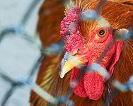 Vtáčia chrípka na Slovensku? Prenos cez vajcia na človeka? Prejavy a liečba