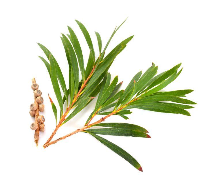 Vetvička a plody stromu čajovníka
