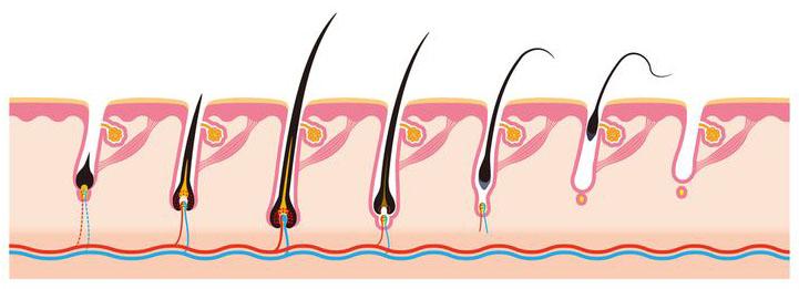 Rastový cyklus vlasu