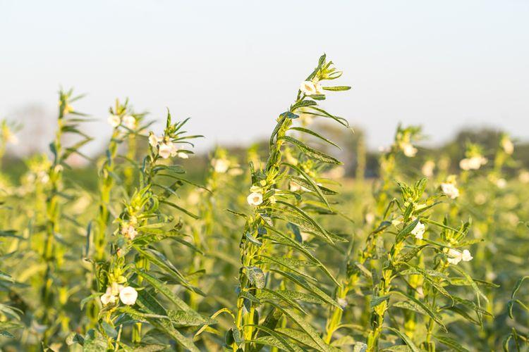 Rastlina sezam, z ktorej sa vyrába sezamový olej