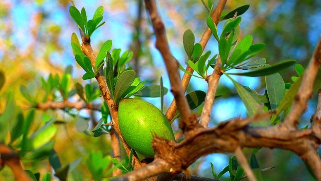 Plody Argánie tŕnitej na výrobu argánového oleja